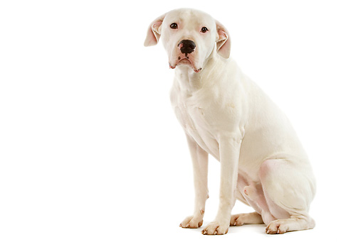 DOG 01 JE0054 01 © Kimball Stock White Argentinian Mastiff Sitting On White Seamless