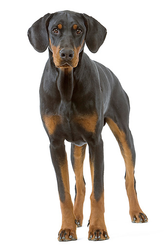 DOG 01 JE0065 01 © Kimball Stock Doberman Pinscher Standing On White Seamless