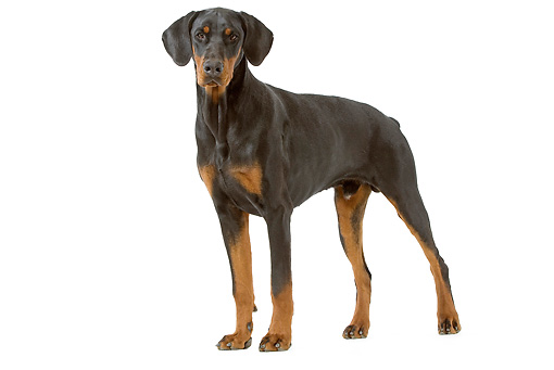 DOG 01 JE0066 01 © Kimball Stock Doberman Pinscher Standing On White Seamless