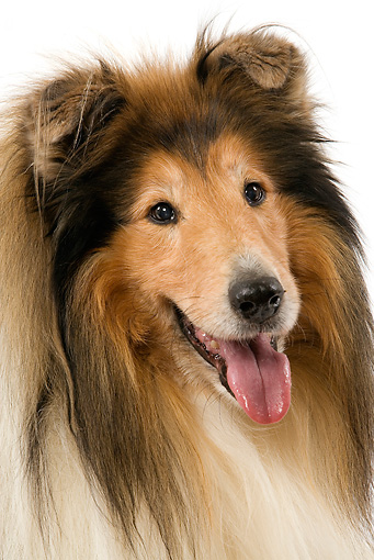DOG 01 JE0067 01 © Kimball Stock Head Shot Of Collie On White Seamless