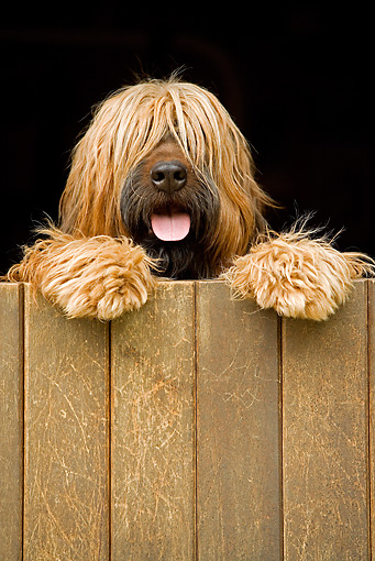 DOG 01 JE0073 01 © Kimball Stock Briard Standing On Hind Legs Looking Over Fence