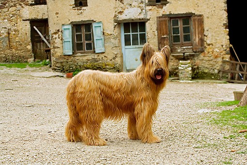 DOG 01 JE0074 01 © Kimball Stock Briard Standing By Old Building On Farm