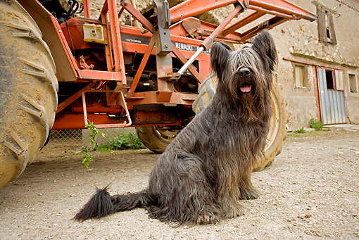 DOG 01 JE0075 01 © Kimball Stock Briard Sitting By Tractor On Farm