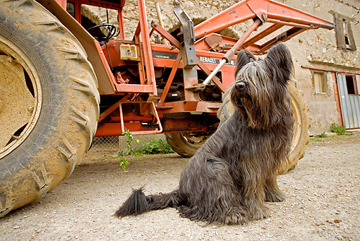 DOG 01 JE0076 01 © Kimball Stock Briard Sitting By Tractor On Farm