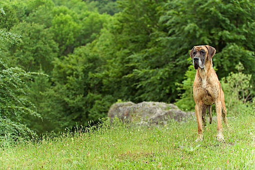 DOG 01 JE0078 01 © Kimball Stock German Mastiff Standing In Meadow