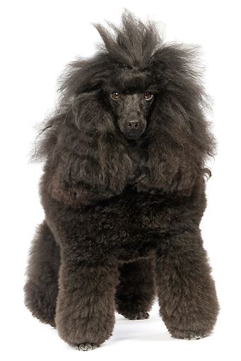 DOG 01 JE0080 01 © Kimball Stock Black Standard Poodle Standing On White Seamless