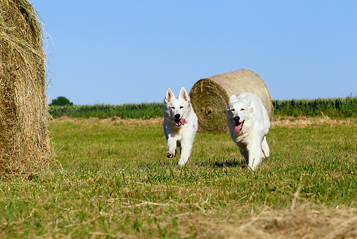 DOG 01 JE0096 01 © Kimball Stock Two White Swiss Shepherds Running Through Field By Hay Bales