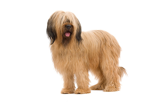 DOG 01 JE0119 01 © Kimball Stock Briard Standing On White Seamless