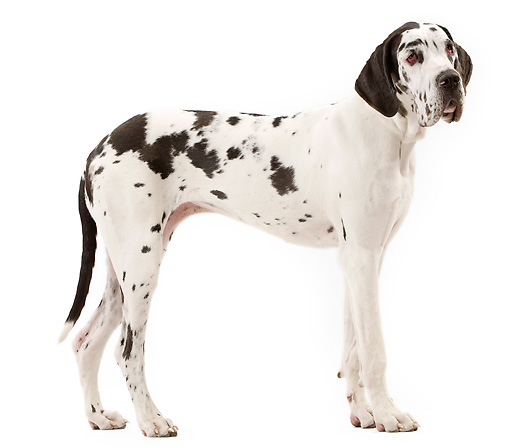 DOG 01 JE0121 01 © Kimball Stock Harlequin Great Dane Standing On White Seamless Profile