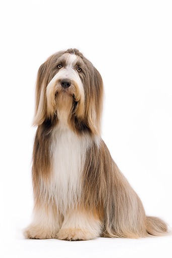 DOG 01 JE0122 01 © Kimball Stock Bearded Collie Sitting On White Seamless