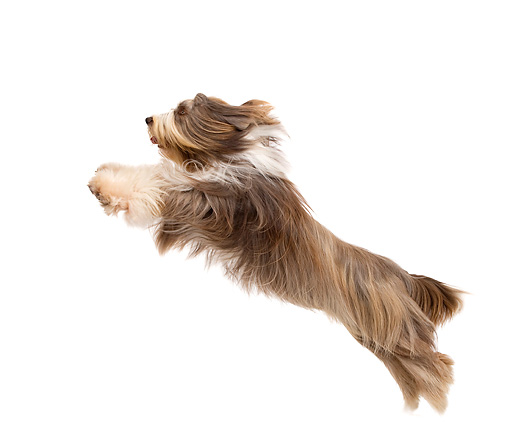DOG 01 JE0123 01 © Kimball Stock Bearded Collie Leaping On White Seamless Profile