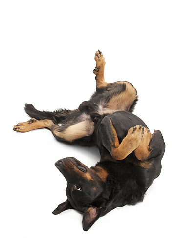 DOG 01 JE0125 01 © Kimball Stock Beauceron Rolling On Back On White Seamless
