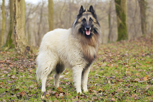 DOG 01 JE0127 01 © Kimball Stock Tervuren Belgian Shepherd Standing In Woods
