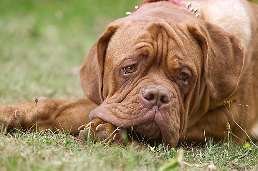 DOG 01 JE0140 01 © Kimball Stock Close-Up Of Dogue De Bordeaux Resting On Grass