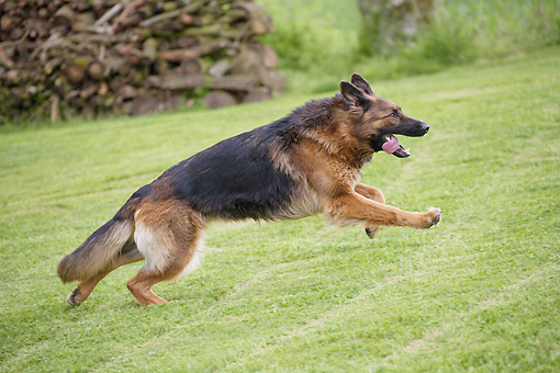 DOG 01 JE0147 01 © Kimball Stock German Shepherd Running On Grass By Log Pile Profile