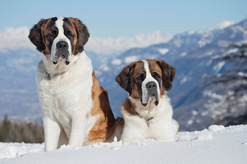 DOG 01 JE0156 01 © Kimball Stock Two Saint Bernards Sitting In Snow By Mountains