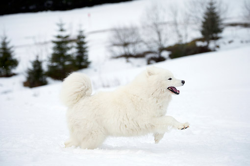 DOG 01 JE0161 01 © Kimball Stock Samoyed Running On Snow By Evergreen Trees