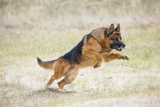 DOG 01 JE0167 01 © Kimball Stock German Shepherd Running In Sandy Grass