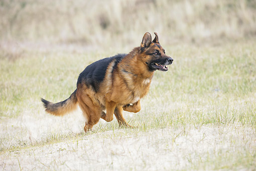DOG 01 JE0168 01 © Kimball Stock German Shepherd Running In Sandy Grass