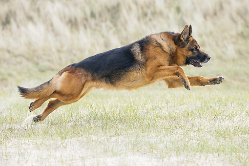 DOG 01 JE0169 01 © Kimball Stock German Shepherd Running In Sandy Grass