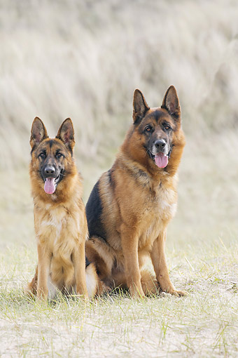 DOG 01 JE0171 01 © Kimball Stock German Shepherds Sitting In Sandy Grass