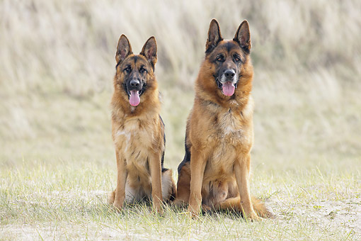 DOG 01 JE0172 01 © Kimball Stock German Shepherds Sitting In Sandy Grass