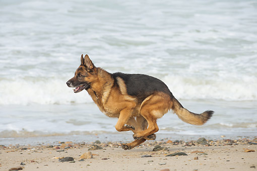 DOG 01 JE0173 01 © Kimball Stock German Shepherd Running On Beach
