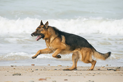 DOG 01 JE0174 01 © Kimball Stock German Shepherd Running On Beach