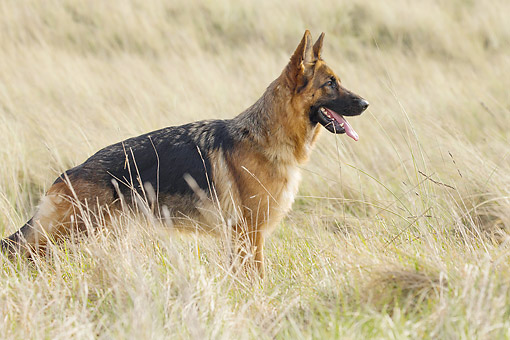 DOG 01 JE0176 01 © Kimball Stock German Shepherd Standing In Sandy Grass