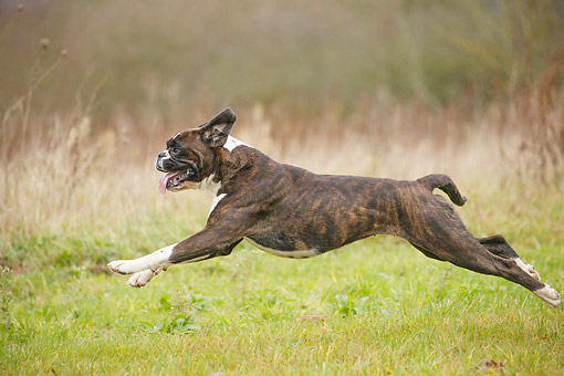 DOG 01 JE0181 01 © Kimball Stock Boxer Running On Grass