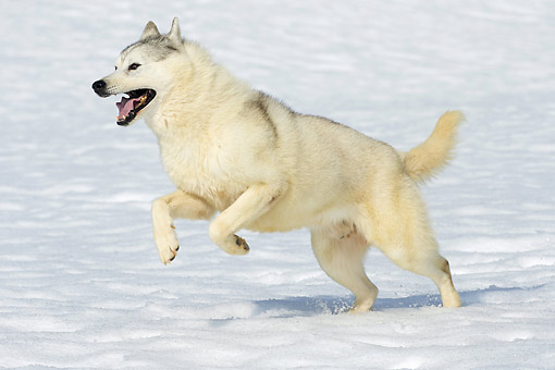 DOG 01 JE0187 01 © Kimball Stock Husky Running In Snow