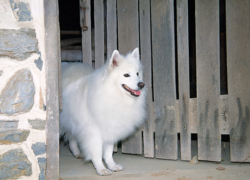 DOG 01 JN0002 01 © Kimball Stock American Eskimo Standing In Doorway