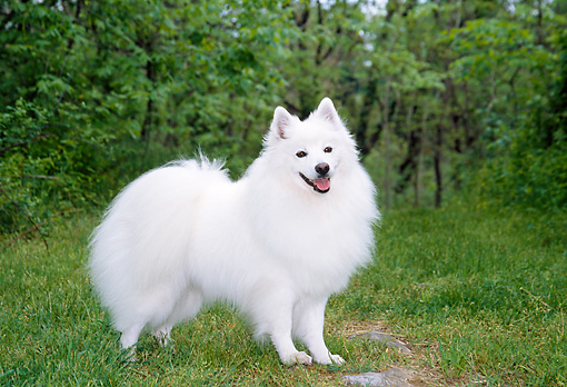 DOG 01 JN0003 01 © Kimball Stock American Eskimo Standing On Grass At Edge Of Woods