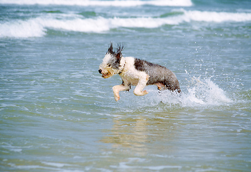 DOG 01 JN0008 01 © Kimball Stock Old English Sheepdog Running Through Water On Beach