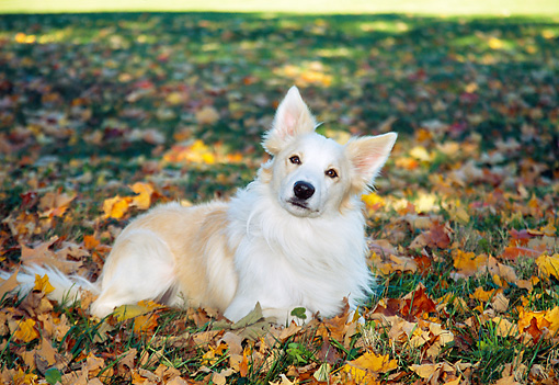 DOG 01 JN0011 01 © Kimball Stock Border Collie Resting On Grass And Autumn Leaves
