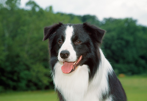DOG 01 JN0012 01 © Kimball Stock Head Shot Of Border Collie On Grass