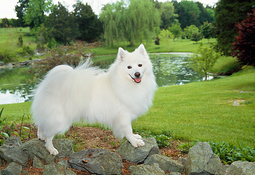 DOG 01 JN0013 01 © Kimball Stock American Eskimo Standing On Rocks