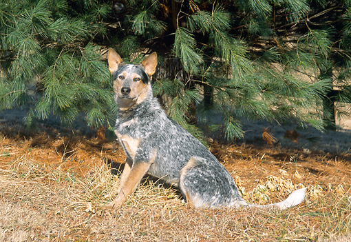DOG 01 JN0016 01 © Kimball Stock Australian Cattle Dog Sitting On Dry Grass By Pine Tree