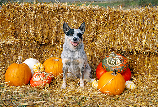 DOG 01 JN0020 01 © Kimball Stock Australian Cattle Dog Sitting By Hay Bales And Pumpkins
