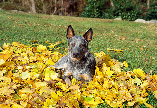 DOG 01 JN0021 01 © Kimball Stock Australian Cattle Dog Laying In Autumn Leaves