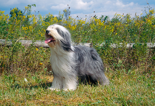 DOG 01 JN0022 01 © Kimball Stock Bearded Collie Standing On Grass By Yellow Blossoms