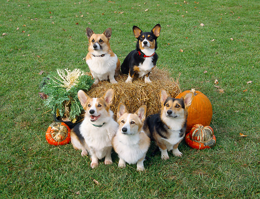 DOG 01 JN0026 01 © Kimball Stock Group Of Cardigan Welsh Corgis Sitting By Hay Bale And Pumpkins
