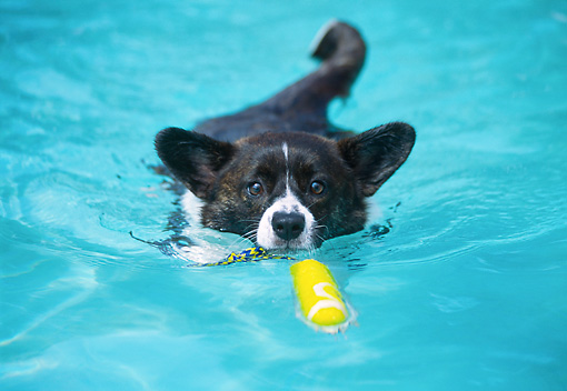 DOG 01 JN0027 01 © Kimball Stock Cardigan Welsh Corgi Fetching Toy In Pool