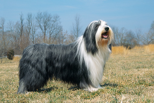 DOG 01 JN0031 01 © Kimball Stock Bearded Collie Standing On Grass Field