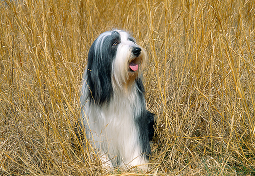 DOG 01 JN0032 01 © Kimball Stock Bearded Collie Sitting In Tall Dry Grass