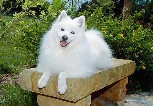 DOG 01 JN0033 01 © Kimball Stock American Eskimo Laying On Bench