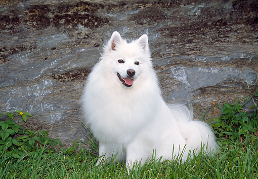 DOG 01 JN0035 01 © Kimball Stock American Eskimo Sitting On Grass By Boulder