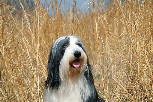 DOG 01 JN0038 01 © Kimball Stock Head Shot Of Bearded Collie Sitting In Tall Dry Grass