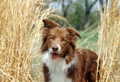 DOG 01 JN0040 01 © Kimball Stock Close-Up Of Border Collie Standing In Tall Grass