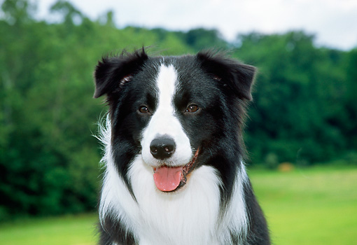 DOG 01 JN0044 01 © Kimball Stock Head Shot Of Border Collie Sitting On Grass Field